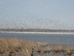 Snow Geese arrive at Squaw Creek