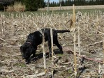 Labrador puppy training in a corn field