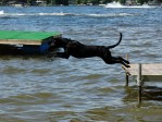 Training a Labrador puppy to retrieve in the water