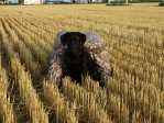 Training our labrador puppy Gaddy in a wheat stubble field