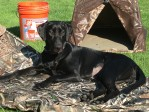 Black Labrador Gaddy helping to mud new field blinds.