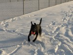 Labrador retriever Gaddy enjoys chasing balls even in the middle of the winter