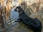 Labrador Retriever Gaddy watching the decoys in a blind.